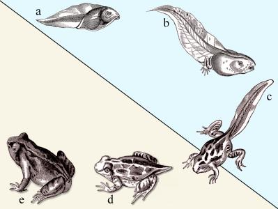 metamorfosis en anfibios del amazonas