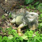 reptiles del amazonas, iguana