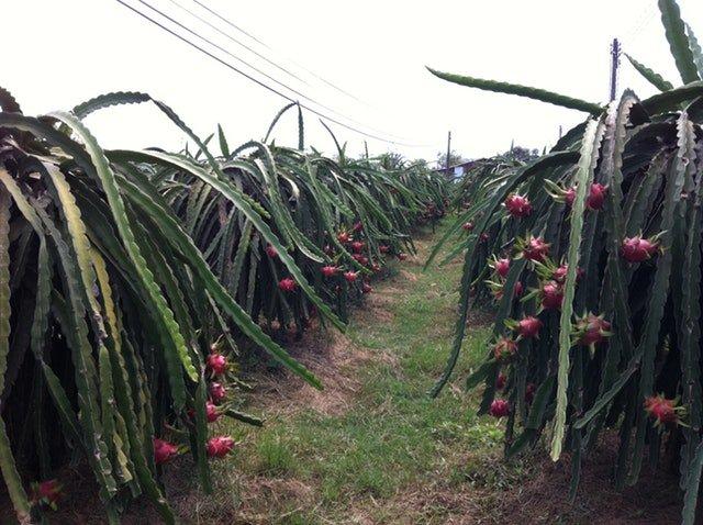 cultivo de pitahaya