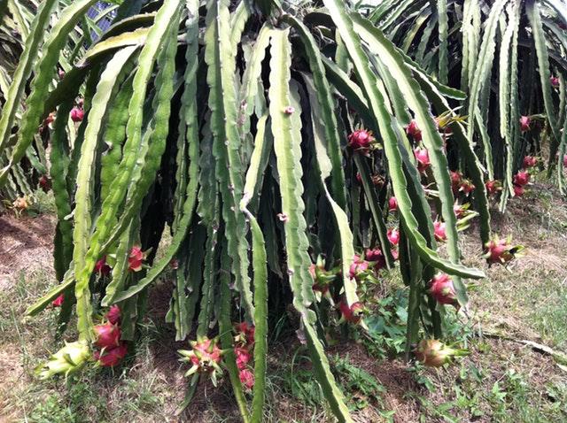 Cactus de pitahaya con sus frutos.