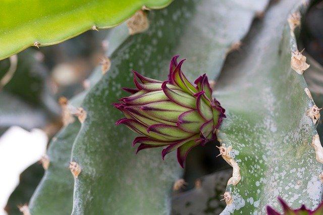 botón floral de la pitahaya