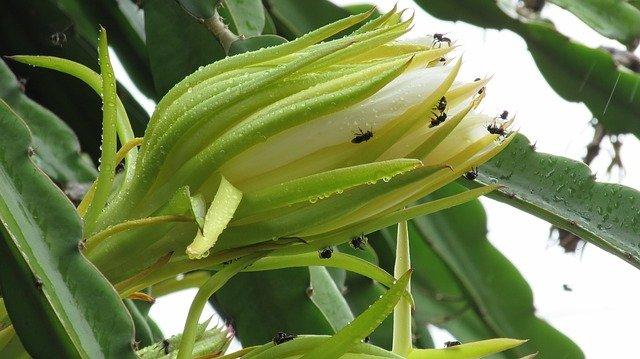 flor de pitahaya con insectos