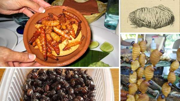 insectos comestibles del amazonas