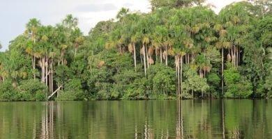 aguajal o bosque de buritis o mauricia flexuosa