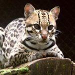 mamíferos del amazonas, felino, ocelote