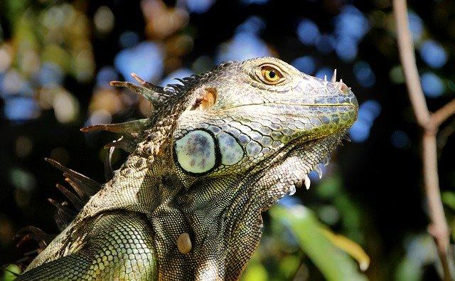 iguana oído
