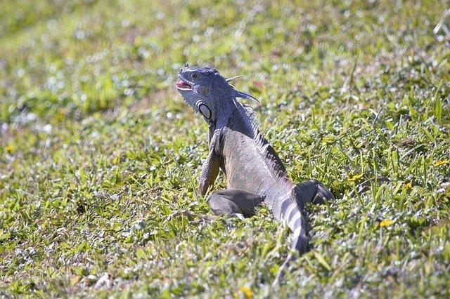 iguana lengua
