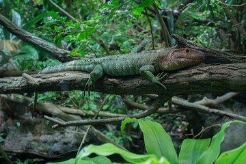 iguana en su habitat