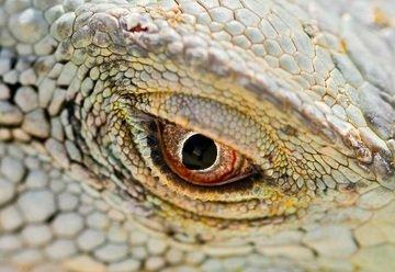 iguana ojo