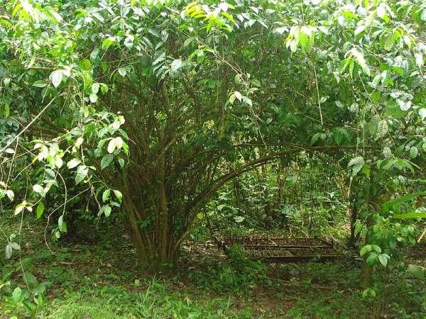 Ilex_Guayusa_tree