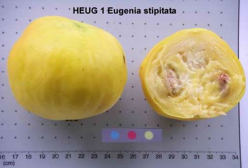 eugenia stipitata