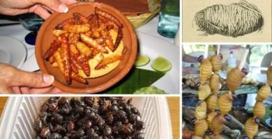 insectos comestibles