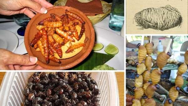 insectos comestibles