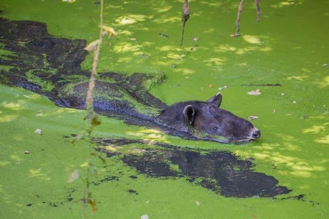Tapir (Tapirus terrestris) sumergido en el agua