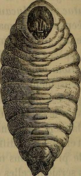 larva del rhynchophorus palmarum