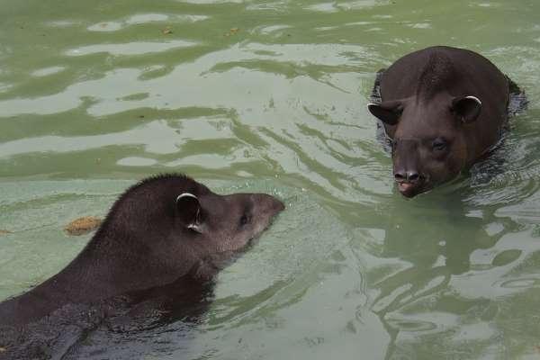 tapir sexo