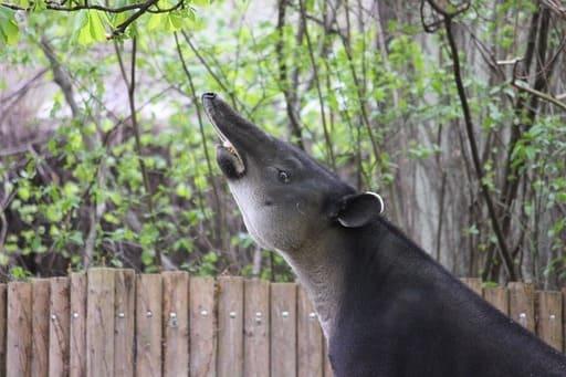 trompa del tapir de perfil