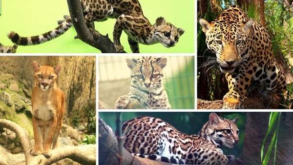 5 felinos del amazonas