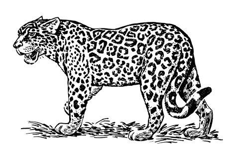 jaguar para colorar