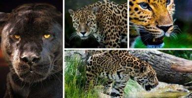 portada jaguar