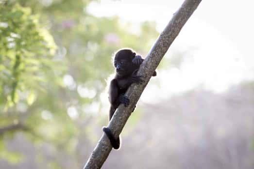 Mono Aullador bebé