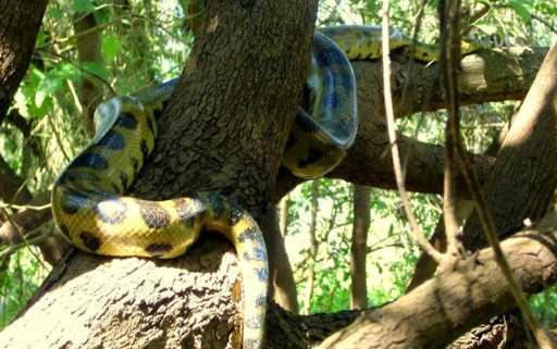 Anaconda verde eunectes murinus