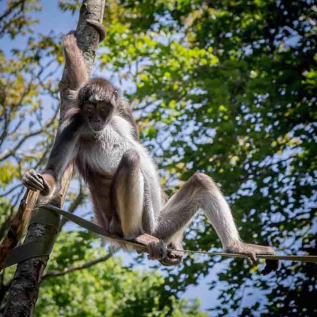 Mono araña adulto