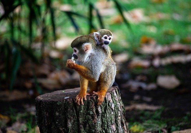 Mono araña bebé