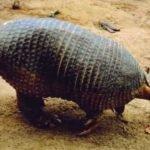 Armadillo-gigante-Priodontes maximus