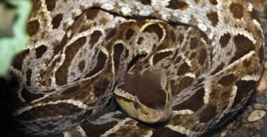 Serpiente terciopelo