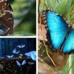 mariposa azul morpho