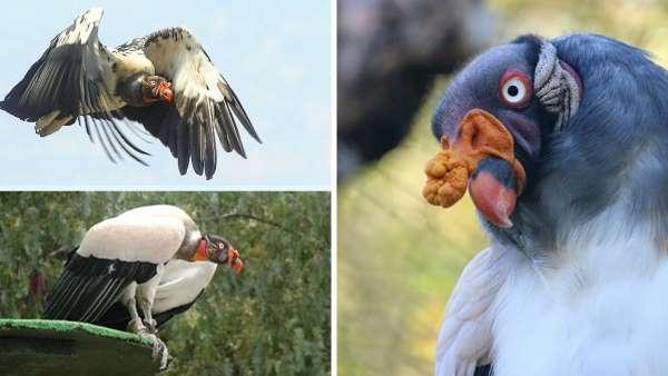 Aves carroñeras: el Zopilote Rey