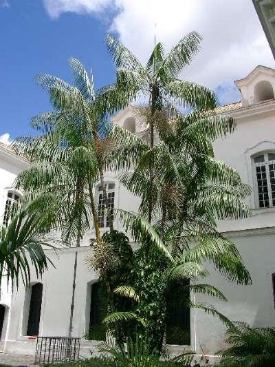 Açaizeiro_no_palacio