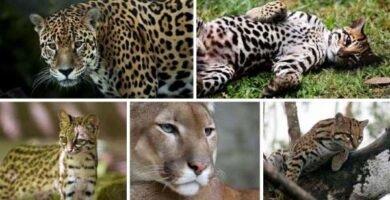 felinos del amazonas