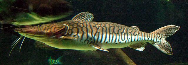 pez doncella Pseudoplatystoma fasciatum