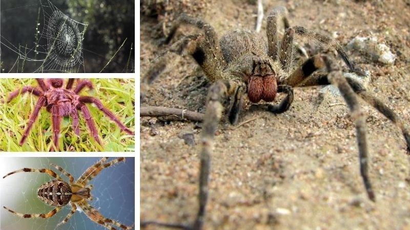 Arañas del Amazonas