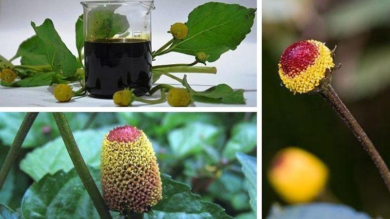 Jambú (acmellia aloracea)