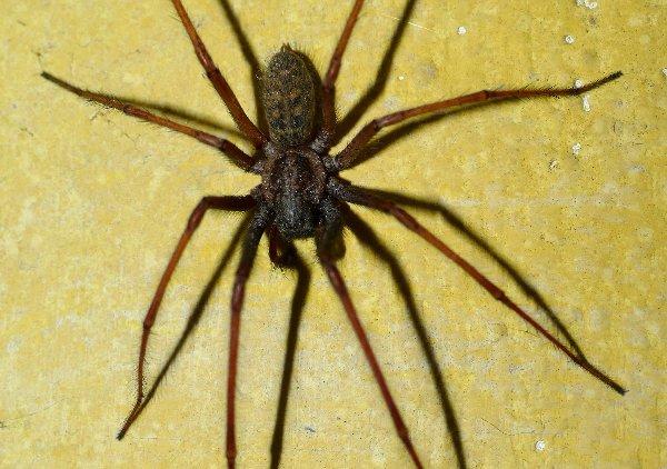 Araña mona