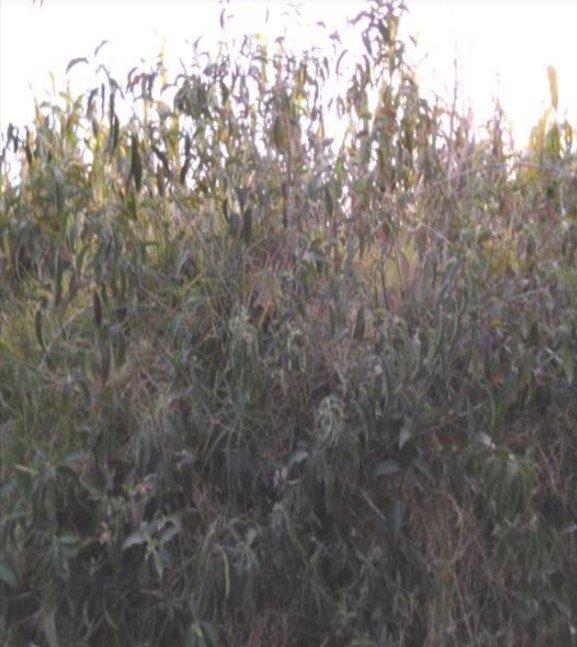 hierba santa cestrum hediondinum: plantas maestras del amazonas
