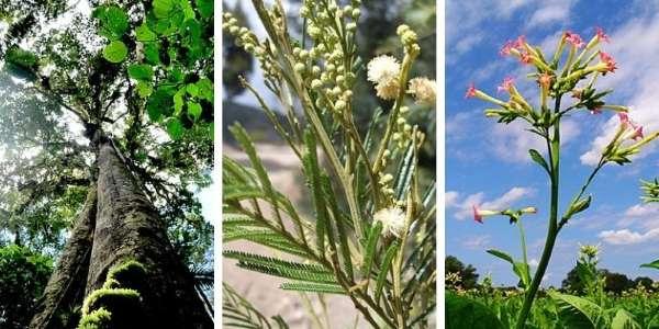 plantas maestras del amazonas