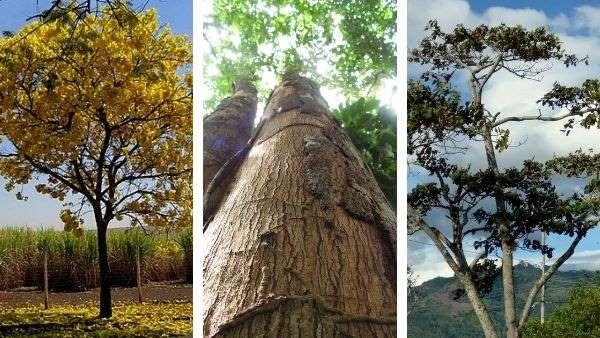 arboles maderables del amazonas