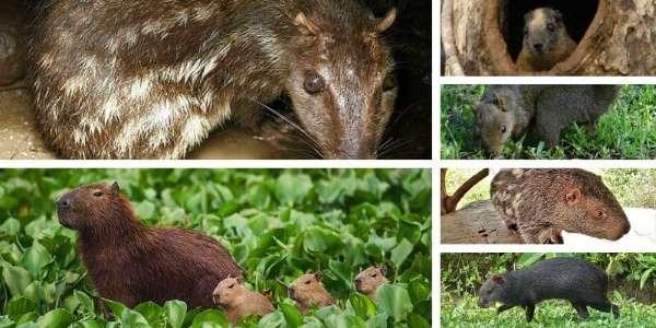 roedores del amazonas v1 LOW