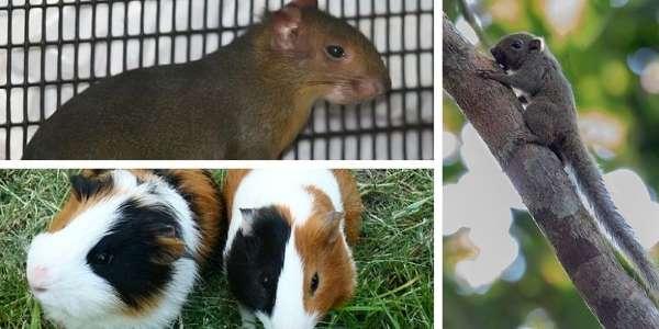 roedores del amazonas
