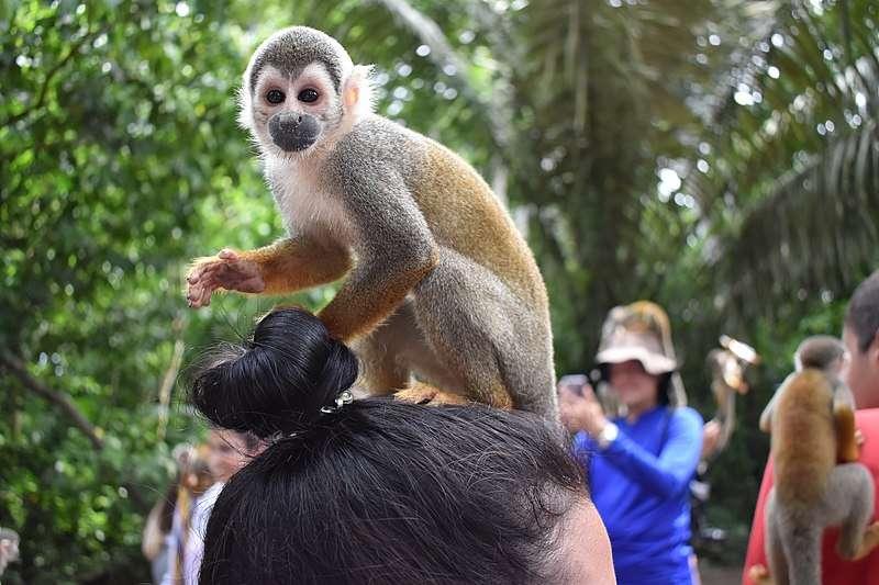 mono ardilla sobre turista en isla de los micos