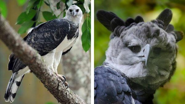 portada águia arpía