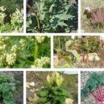 8 especies de ruibarbo