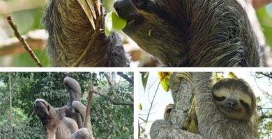 oso perezoso de tres dedos portada