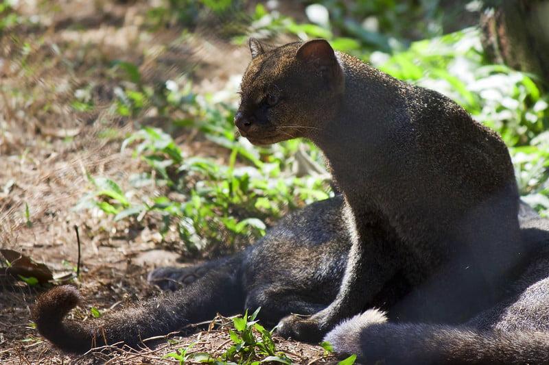 jaguarundi o yaguarundi