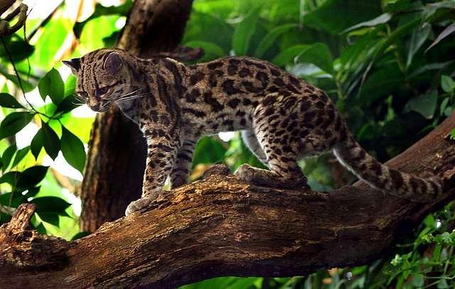 Margaykat_Leopardus_