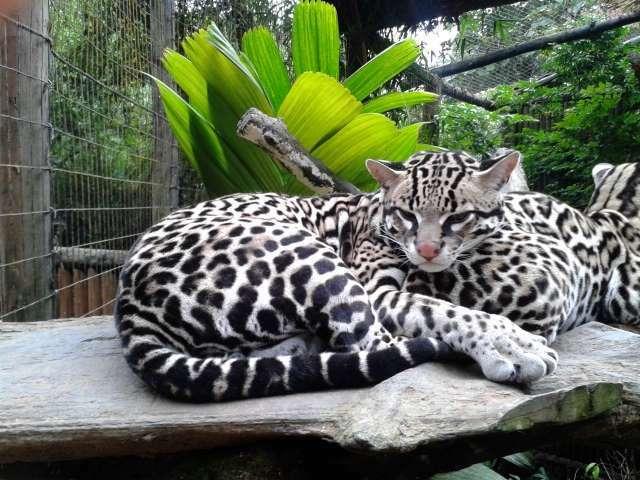 Leopardus_pardalis._Manigordo._Ocelote._Costa_Rica
